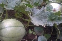 termények4